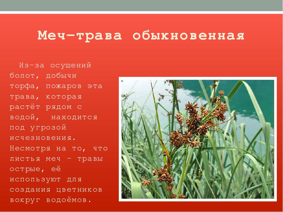 Меч-трава обыкновенная Из-за осушений болот, добычи торфа, пожаров эта трава,...