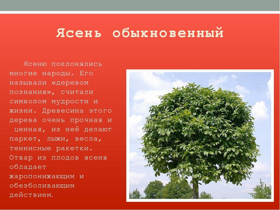 Ясень обыкновенный Ясеню поклонялись многие народы. Его называли «деревом поз...