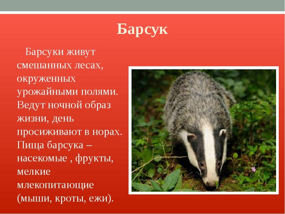 Барсук Барсуки живут смешанных лесах, окруженных урожайными полями. Ведут ноч...