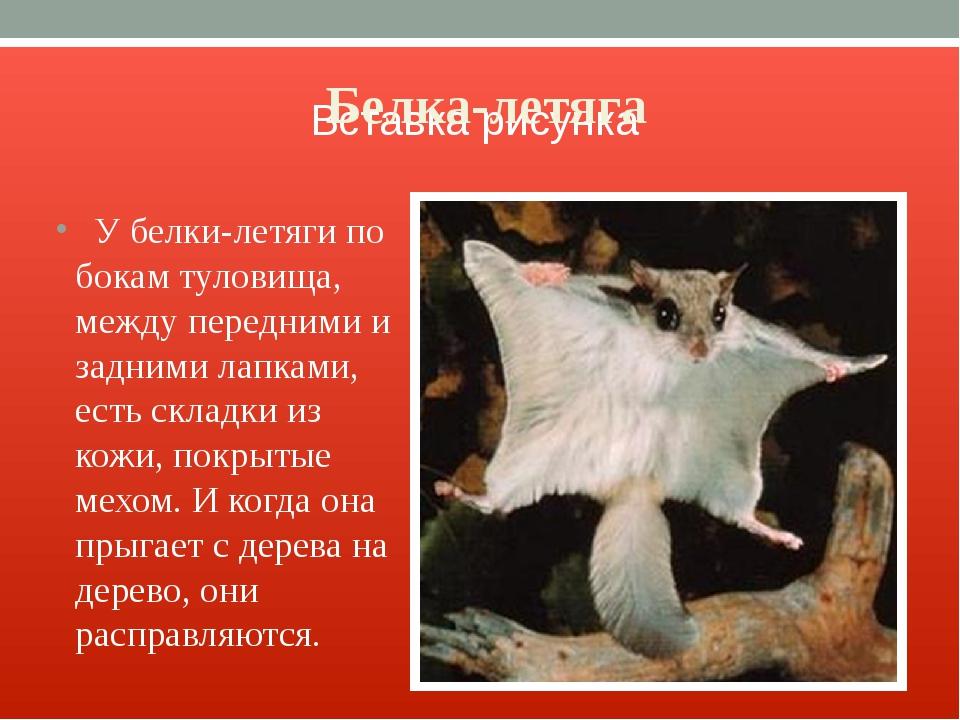 Белка-летяга У белки-летяги по бокам туловища, между передними и задними лапк...