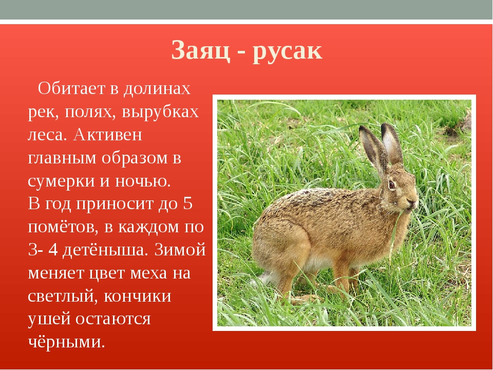 Заяц - русак Обитает в долинах рек, полях, вырубках леса. Активен главным обр...