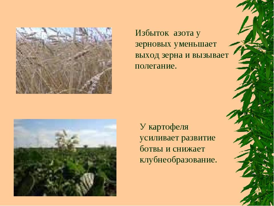 Избыток азота у зерновых уменьшает выход зерна и вызывает полегание. У картоф...