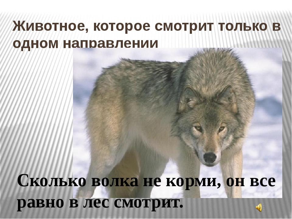 Животное, которое смотрит только в одном направлении Сколько волка не корми,...