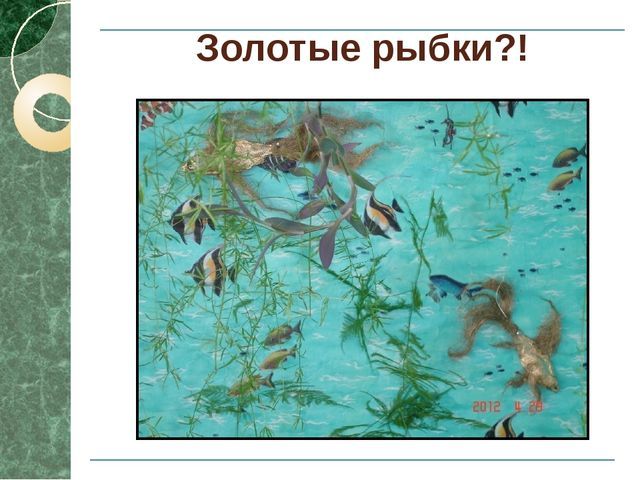 Золотые рыбки?!