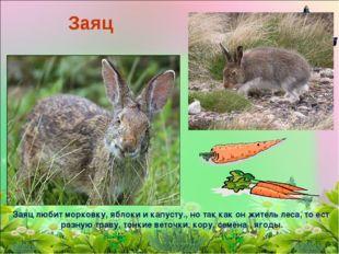 Заяц Заяц любит морковку, яблоки и капусту., но так как он житель леса, то ес