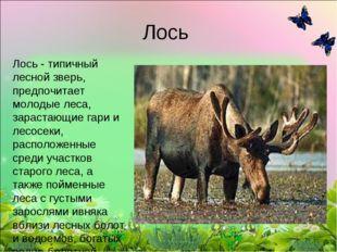 Лось Лось- типичный лесной зверь, предпочитает молодые леса, зарастающие гар