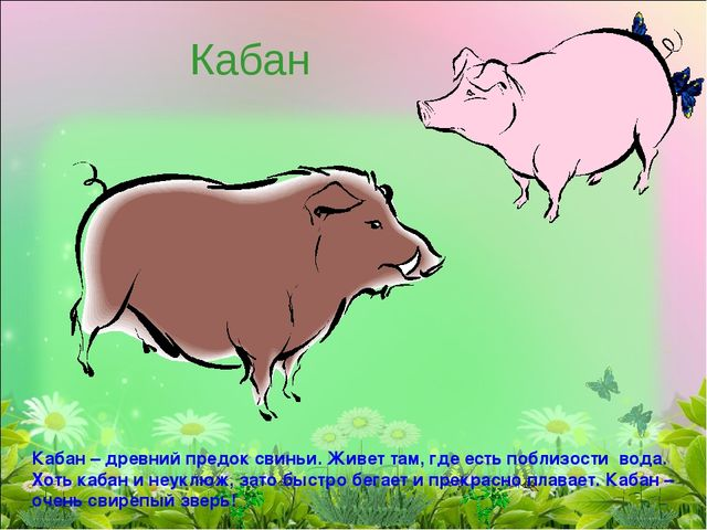 Кабан Кабан – древний предок свиньи. Живет там, где есть поблизости вода. Хот...