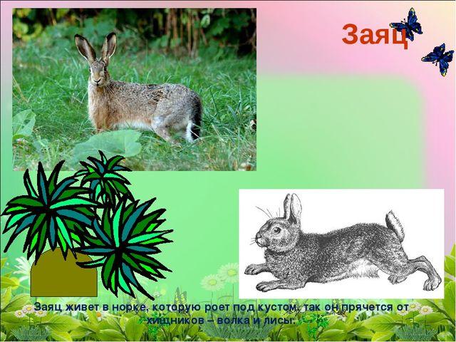 Заяц Заяц живет в норке, которую роет под кустом, так он прячется от хищников...