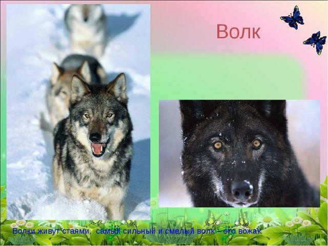 Волк Волки живут стаями, самый сильный и смелый волк – это вожак.