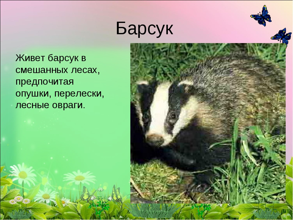 Барсук Живетбарсукв смешанных лесах, предпочитая опушки, перелески, лесные...