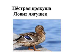 Пёстрая крякуша Ловит лягушек