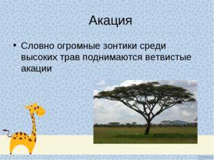 Акация Словно огромные зонтики среди высоких трав поднимаются ветвистые акации