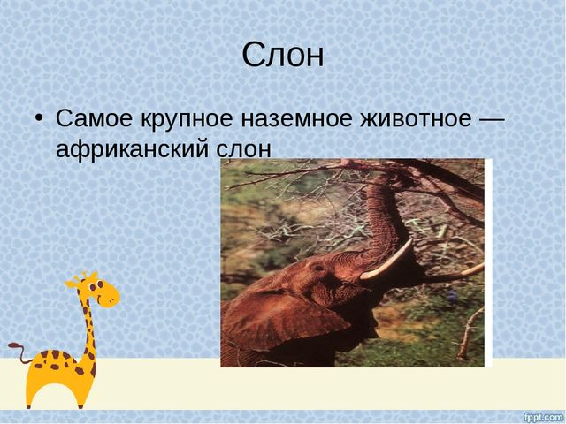 Самое крупное наземное животное — африканский слон Слон