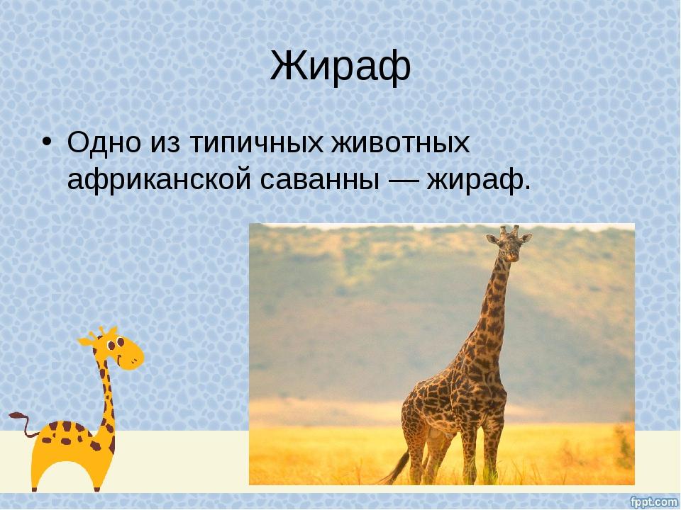 Жираф Одно из типичных животных африканской саванны — жираф.