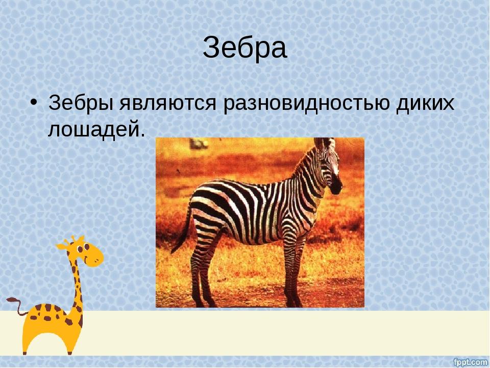Зебра Зебры являются разновидностью диких лошадей.