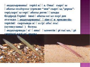 """Қандауыршаның терісі жұқа. Оның сыртқы қабаты-эпидермис (грекше """"эпи""""-сыртқы,"""