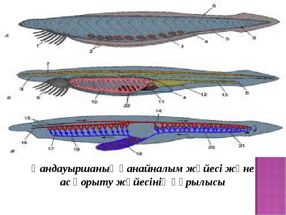 Қандауыршаның қанайналым жүйесі және ас қорыту жүйесінің құрылысы