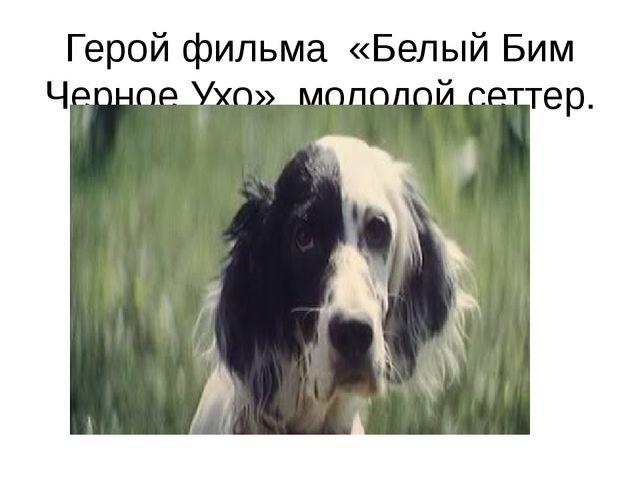Герой фильма «Белый Бим Черное Ухо» молодой сеттер.