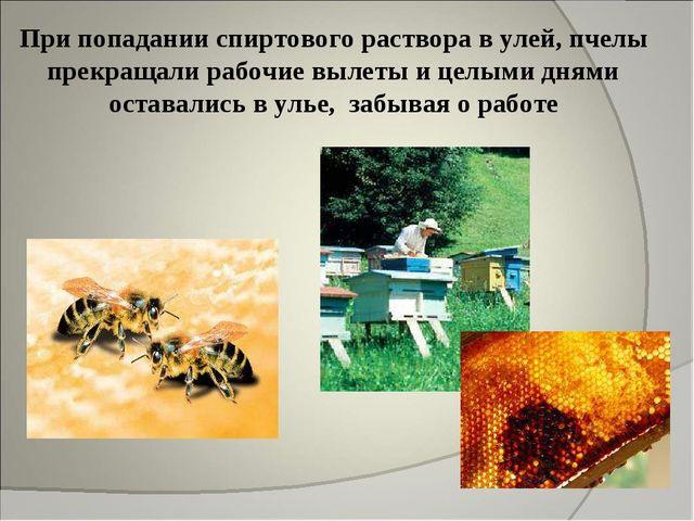При попадании спиртового раствора в улей, пчелы прекращали рабочие вылеты и ц...