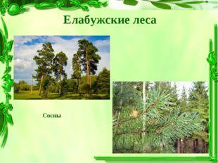 Елабужские леса Сосны