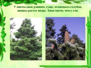 У пихты хвоя длиннее, гуще, зеленовато-голубая, шишка растет вверх. Хвоя мягч