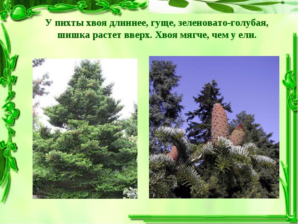 У пихты хвоя длиннее, гуще, зеленовато-голубая, шишка растет вверх. Хвоя мягч...
