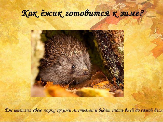 Как ёжик готовится к зиме? Ёж утеплил свою норку сухими листьями и будет спат...
