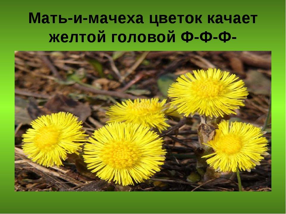 Мать-и-мачеха цветок качает желтой головой Ф-Ф-Ф-