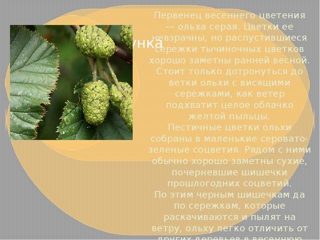 Первенец весеннего цветения — ольха серая. Цветки ее невзрачны, но распустивш...