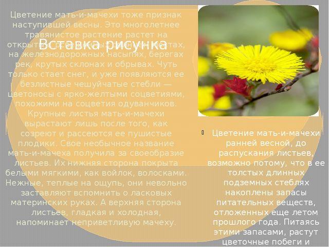 Цветение мать-и-мачехи тоже признак наступившей весны. Это многолетнее травян...