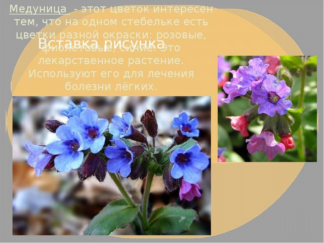 Медуница- этот цветок интересен тем, что на одном стебельке есть цветки раз...