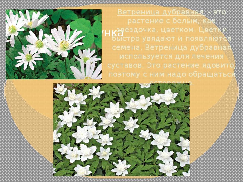 Ветреница дубравная- это растение с белым, как звёздочка, цветком. Цветки б...