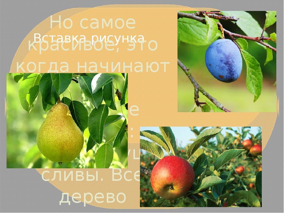 Но самое красивое, это когда начинают цвести плодовые деревья: яблони, груши,...