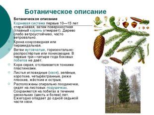 Ботаническое описание Ботаническое описание Корневая система первые 10—15 лет