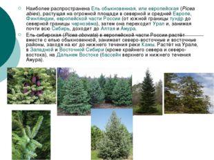 Наиболее распространена Ель обыкновенная, или европейская (Picea abies), раст