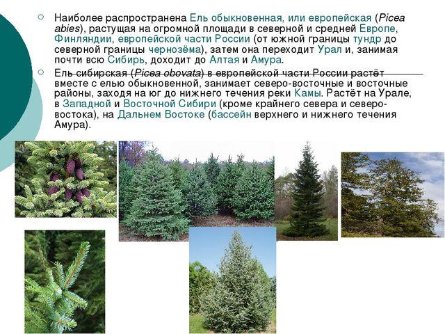 Наиболее распространена Ель обыкновенная, или европейская (Picea abies), раст...