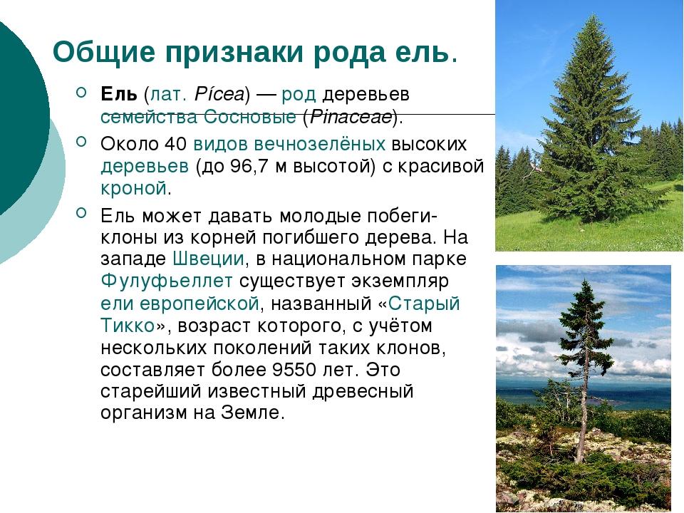 Общие признаки рода ель. Ель (лат.Pícea)— род деревьев семейства Сосновые (...