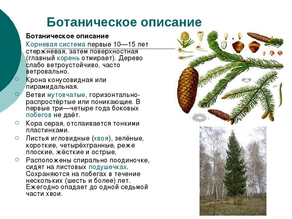 Ботаническое описание Ботаническое описание Корневая система первые 10—15 лет...