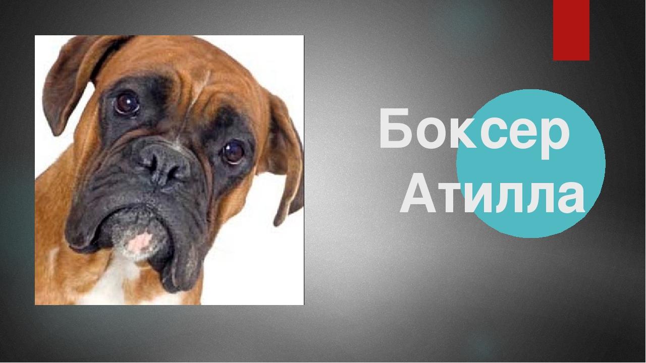 Боксер Атилла