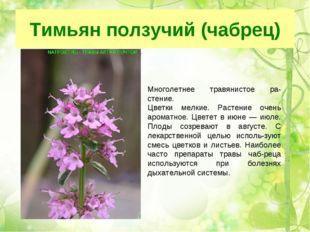 Тимьян ползучий (чабрец) Многолетнее травянистое растение Цветки мелкие мел