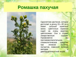 Ромашка пахучая Однолетнее растение, которое достигает в длину 20—30 см и име
