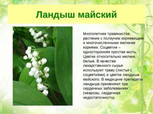 Ландыш майский Многолетнее травянистое растение с ползучим корневищем и много