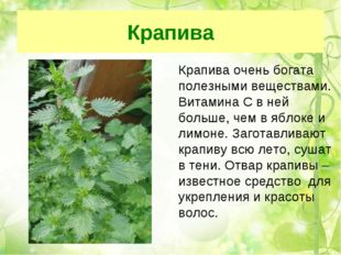 Крапива Крапива очень богата полезными веществами. Витамина С в ней больше,