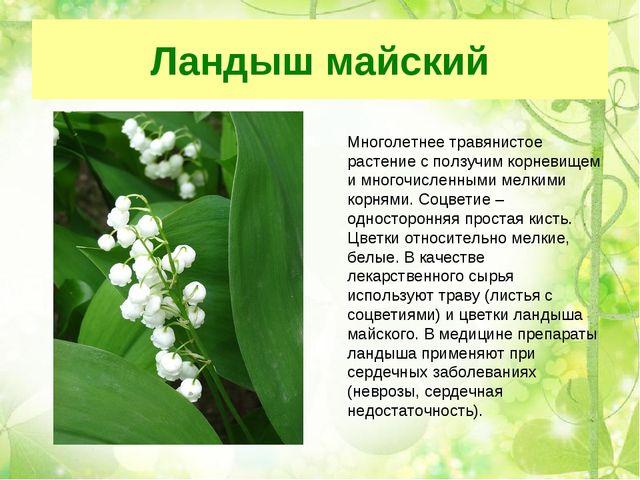 Ландыш майский Многолетнее травянистое растение с ползучим корневищем и много...