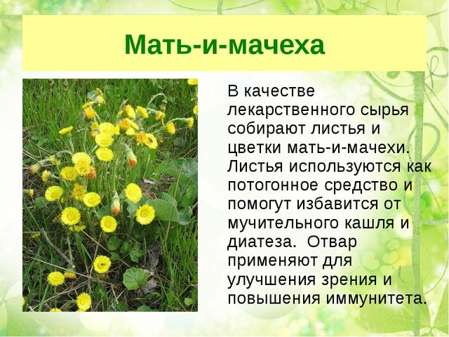 Мать-и-мачеха В качестве лекарственного сырья собирают листья и цветки мать-...