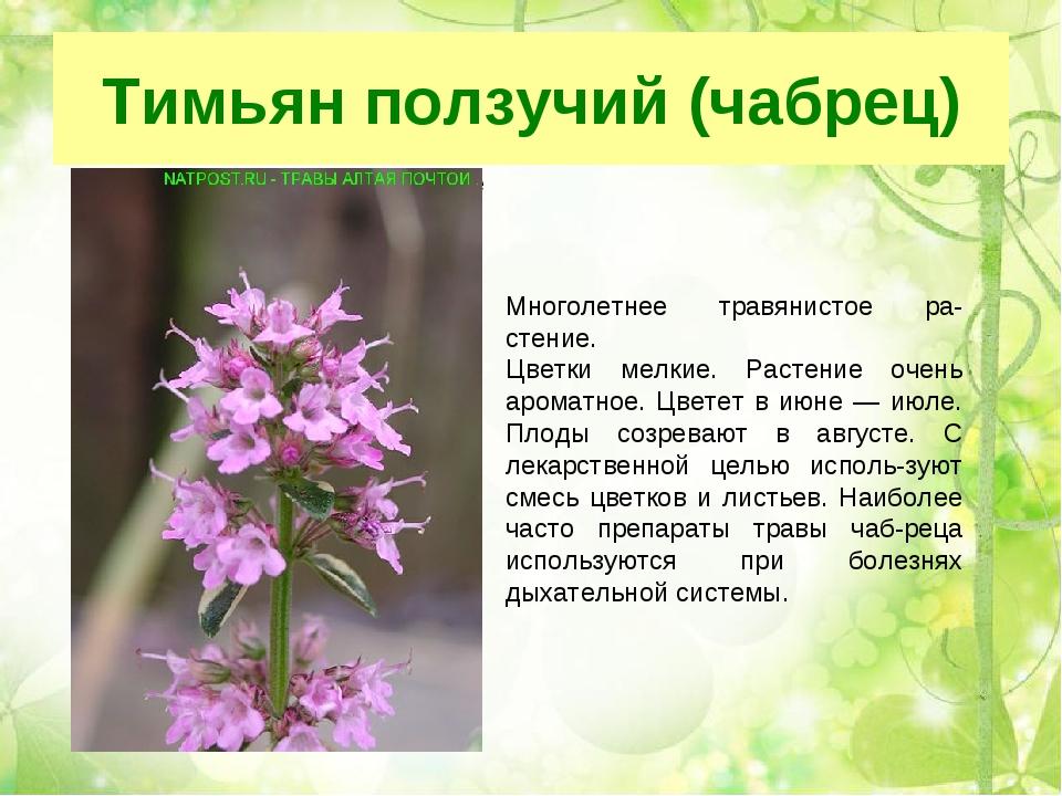 Тимьян ползучий (чабрец) Многолетнее травянистое растение Цветки мелкие мел...