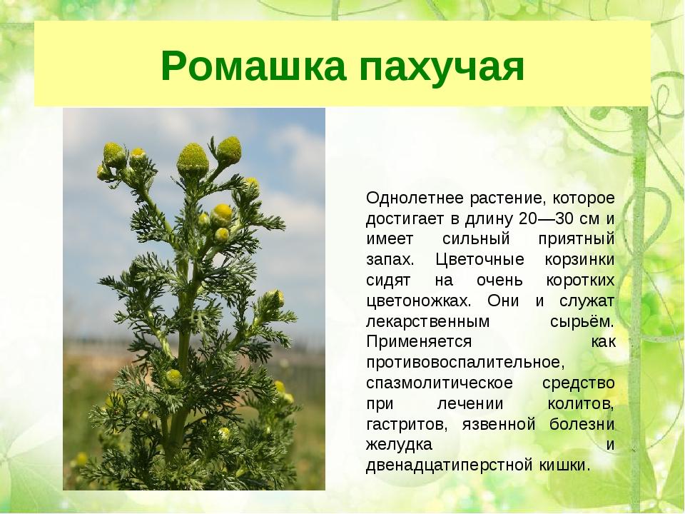 Ромашка пахучая Однолетнее растение, которое достигает в длину 20—30 см и име...
