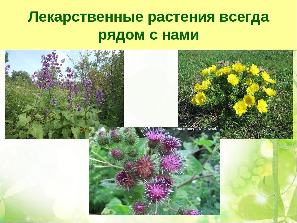 Лекарственные растения всегда рядом с нами