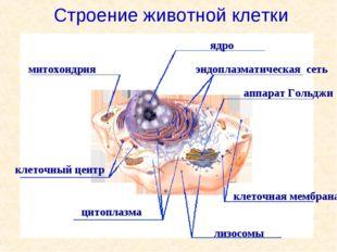 митохондрия ядро аппарат Гольджи цитоплазма лизосомы эндоплазматическая сеть