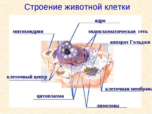 митохондрия ядро аппарат Гольджи цитоплазма лизосомы эндоплазматическая сеть...